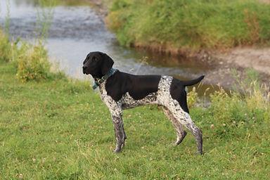 GSP Hunting Dog