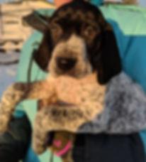 German Shorthair Puppy