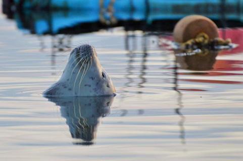 Harbor Seal Taking a Nap