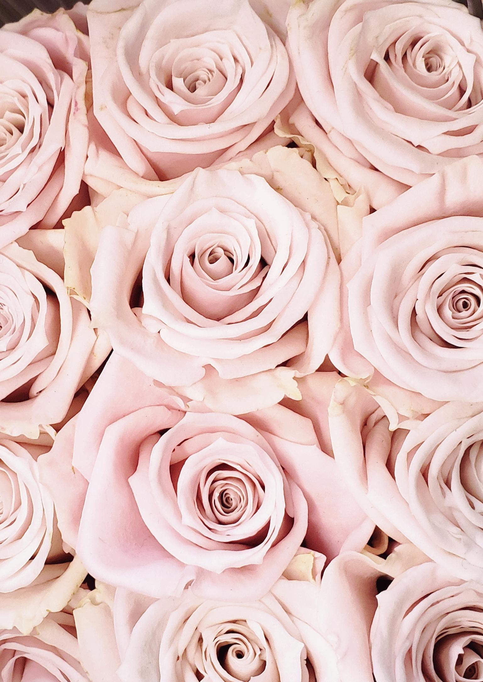 Pink Escimo rose.jpg