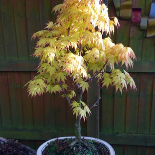Bonsai 0034 Acer Palm Butterfly May 2018 -small.jpg