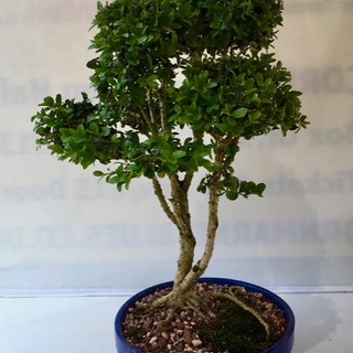 Bonsai 39 Boxwood Jul 2018 after pruning-small.jpg