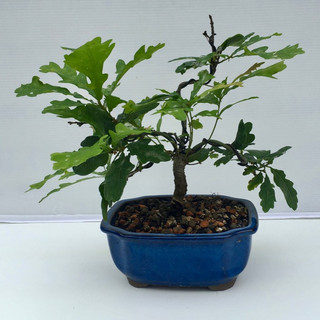 Bonsai 004 Oak July 2018-small.jpg