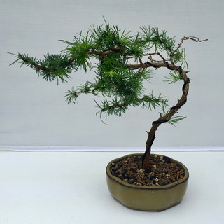 Bonsai 21 Japanese Larch after wiring Jul 2018-small.jpg