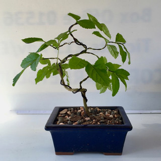 Bonsai 3 after repotting and wiring July 2018-small.jpg