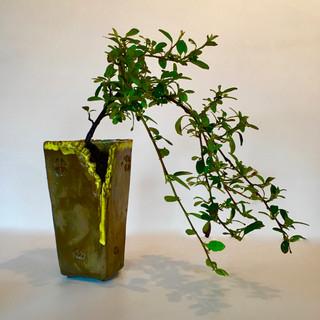 Bonsai 0029 Cotoneaster  Cascade in Paul Rogers Moss Melt pot.jpg