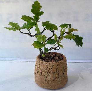 Bonsai 37 Small Oak Jul 2018 after pruning and wiring-small.jpg