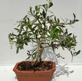 Bonsai 26 Olive July 2018-small.jpg