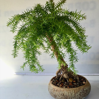 Bonsai 41 Hoop Pine Jul 2018 after pruning-small.jpg