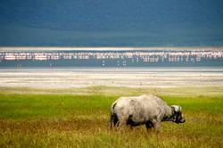 タンザニア・水牛とフラミンゴ