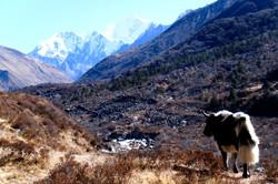 ネパール・ヒマラヤに棲むヤク
