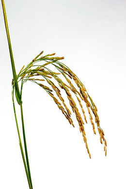 IP6 and Inositol come from rice bran
