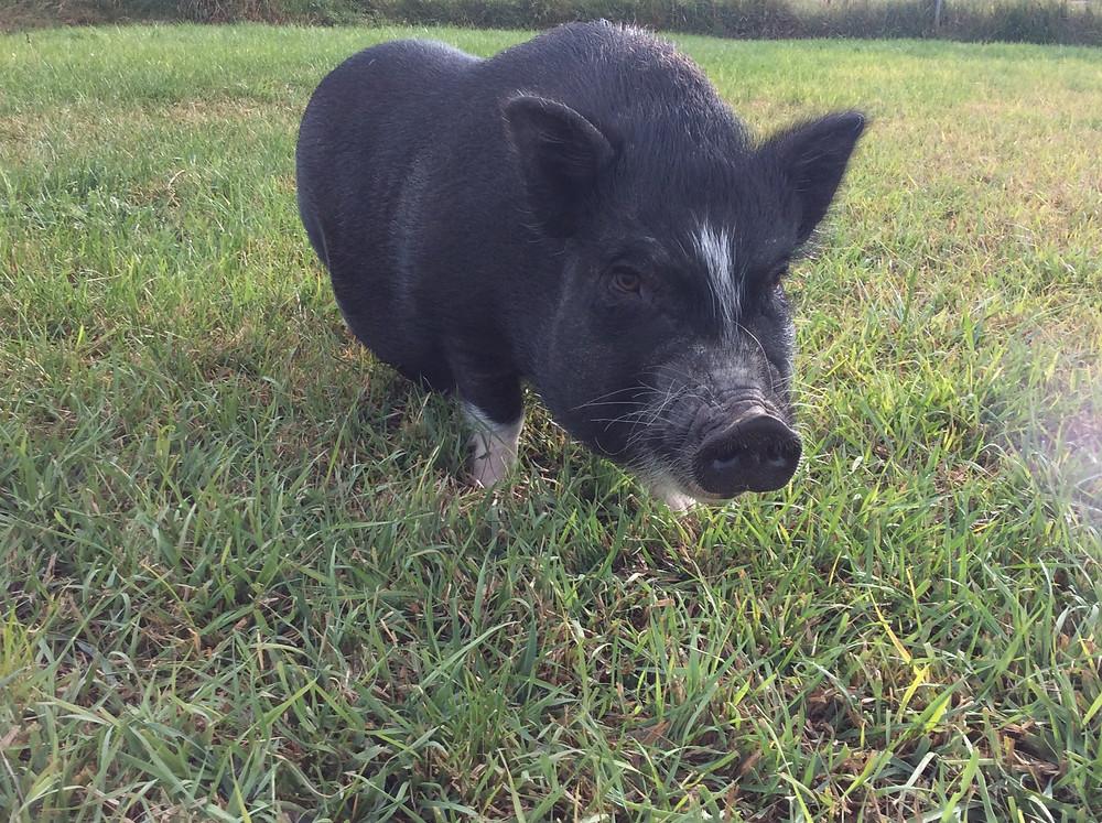 Gracie Christine Donati pig