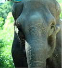 Pelusa was a lonely elphant awaitigrescue. She had lived alone for 43 years in a zoo.