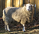 This sheep is a philosopher and communicateshis wisdom.