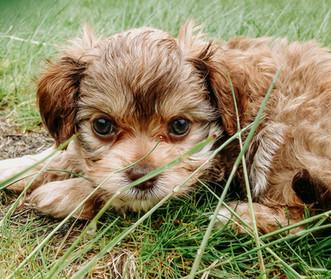 Bikki Bear Puppies