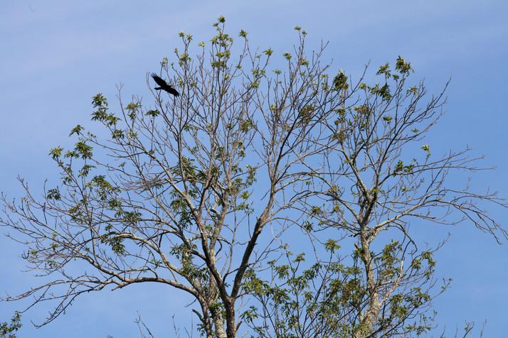American Crow 5:24PM
