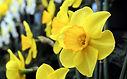 harrogate-spring-daffodills.jpg