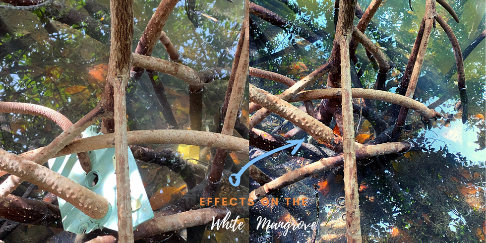 Before & After Fills 071021 Mangrove.png
