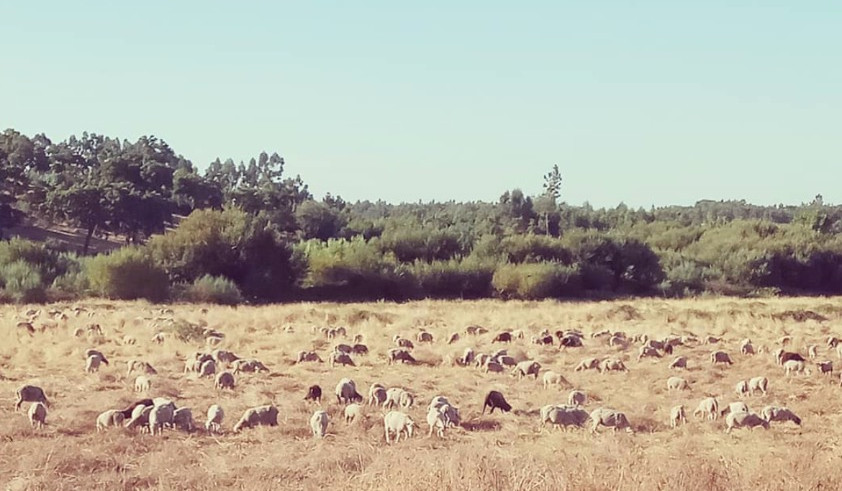 Field with sheeps in the Alentejo