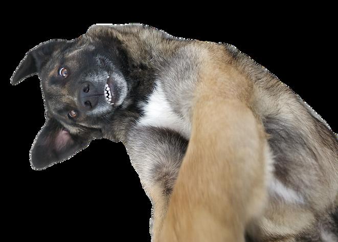 Geadopteerde Portugese Serra da Estrela hond