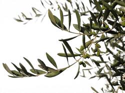 Oliveira betekent olijfboom in het Portugees