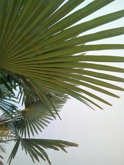 Schaduw onder de Portugese palm