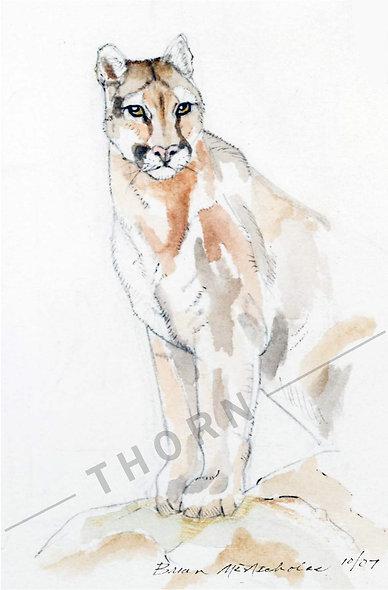 Cougar by Brian McNicholas