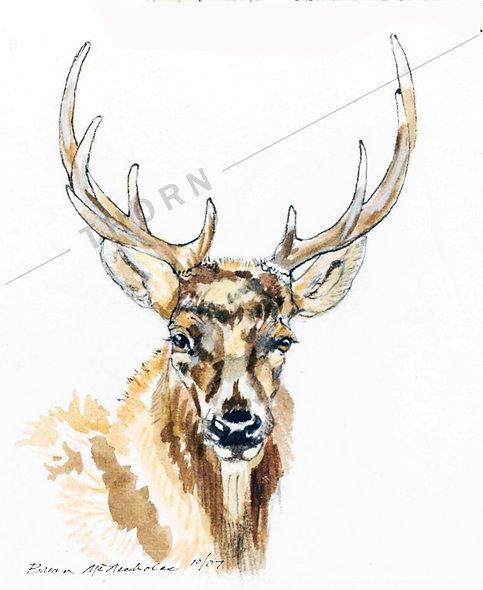 Bull Elk by Brian McNicholas