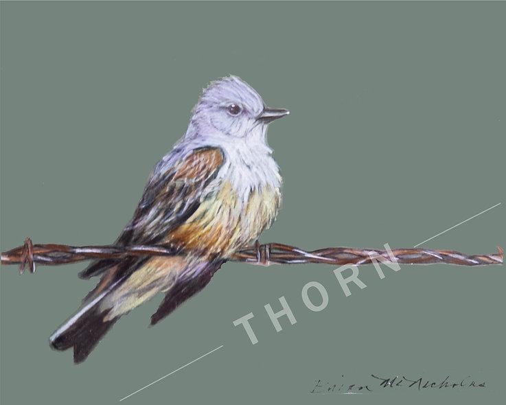 Western Kingbird by Brian McNicholas