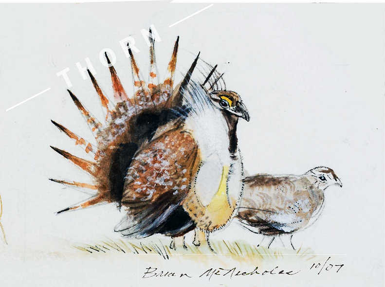 Sage Grouse by Brian McNicholas