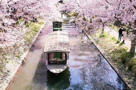 中書島桜1.jpeg