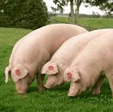 cerdo castrado.jpg