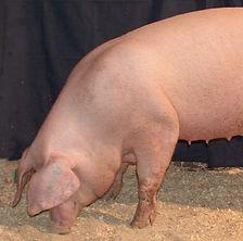 cerdo hembra.jpg