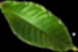 hojas-largas-arbol-cacao-blanco_41471-66