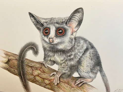 Rondo Dwarf Galago (The Cute Collection)