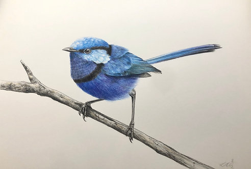 Superb Fairy Wren Drawing