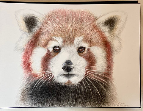 The Red Panda (The Cute Collection)
