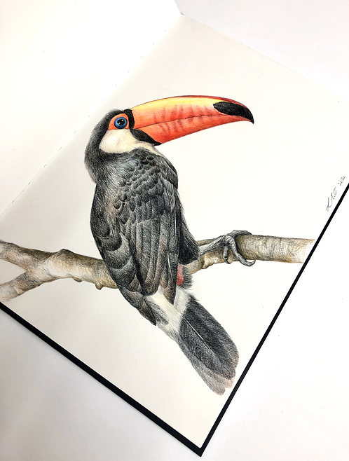 Toco Toucan Drawing