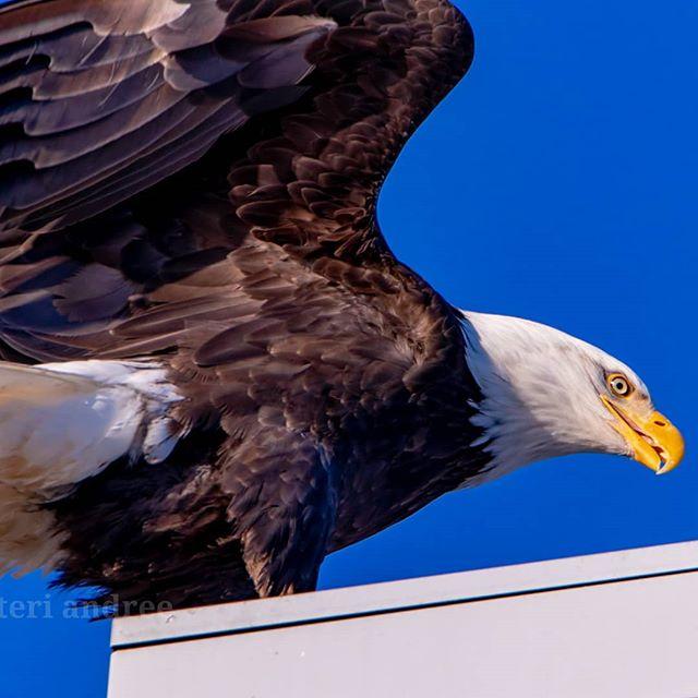 #eagles #juneaualaska