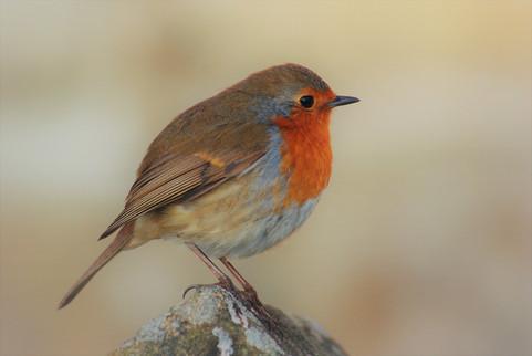 robin-red-breast-erithacus-rubecula2.jpg