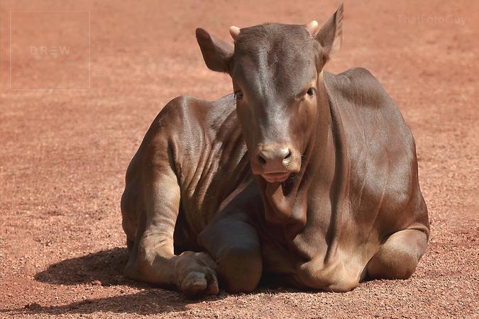 Ankole-Watusi longhorn calf young bull from Africa.png