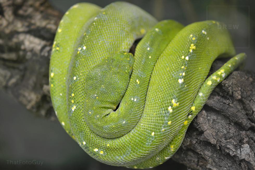 green tree python.png