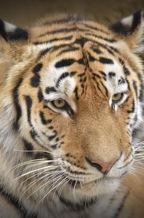 portrait-of-tiger.jpg