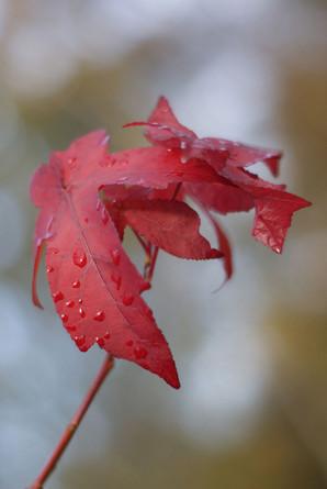 red-japanese-maple-leaf_2x.jpg