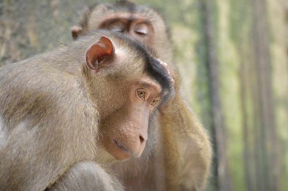 grooming-Macaques.jpg