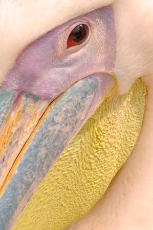 macro-portrait-pink-pelican-pelecanus-onocrotalus.jpg