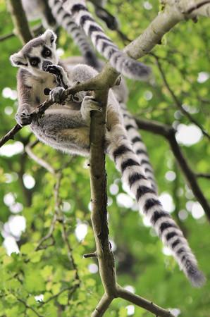 ring-tailed-lemur-lemur-catta_2x.jpg