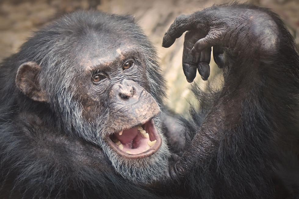 bearded-chimp.jpg