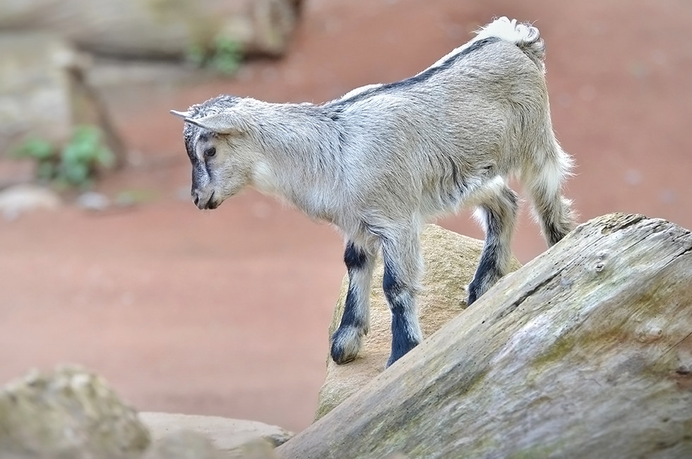 young-african-goat.jpg
